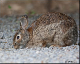 0276 Eastern Cottontail Rabbit.jpg