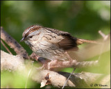 0465 Lincoln's Sparrow