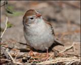 0479 Field Sparrow.jpg