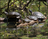0569 Red-eared Sliders and Painted Turtle.jpg