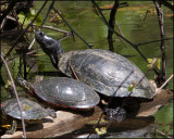 0570 Red-eared Sliders and Painted Turtle.jpg