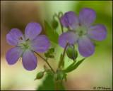 0575 Wild Geranium.jpg