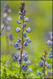 0644 Wild Lupine.jpg