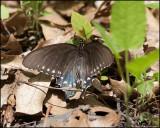 0660 Spicebush Swallowtail.jpg