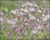 0934 Prairie Smoke or Three-flowered Avens