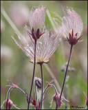 0938 Prairie Smoke or Three-flowered Avens