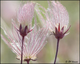 0940 Prairie Smoke or Three-flowered Avens