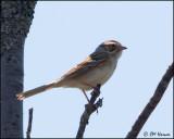 1069 Clay-colored Sparrow.jpg