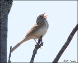 1074 Clay-colored Sparrow.jpg