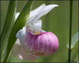 1238 Showy Lady Slipper Orchid.jpg