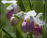 1240 Showy Lady Slipper Orchid.jpg