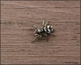 1255 Zebra Jumping Spider.jpg