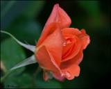 1337 Orange Rosebud.jpg