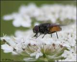 1755 Fly sp on Queen Anne's Lace