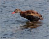 1878 Black-bellied Whistling-Duck.jpg