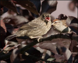 2540 Chipping Sparrow feeding Brown-headed Cowbird juvenile.jpg