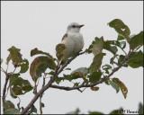2811 Scissor-tailed Flycatcher.jpg