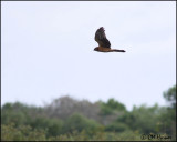 2820 Northern Harrier juvenile.jpg