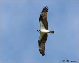 2834 Osprey.jpg