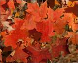 3148 Maple Leaves.jpg