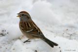 American Tree Sparrow 292.jpg