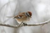 American Tree Sparrow 413.jpg