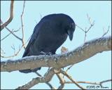 0594 American Crow.jpg