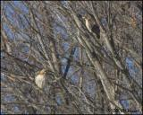 0698 Red-tailed Hawks.jpg
