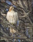 0701 Red-tailed Hawk.jpg