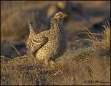 1774 Sharp-tailed Grouse.jpg