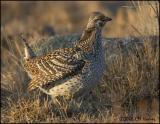 1779 Sharp-tailed Grouse.jpg