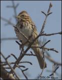 111 Song Sparrow.jpg