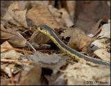 2122 Garter Snake.jpg