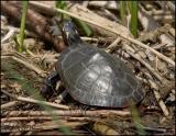 2909 Painted Turtle.jpg
