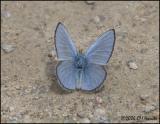 3177 Silvery Blue dorsal.jpg