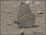 3181 Silvery Blue ventral.jpg