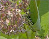 4153 Monarch Caterpillar on milkweed.jpg