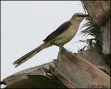 6148 Tropical Mockingbird.jpg