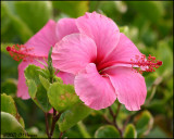 6152 Pink Hibiscus.jpg