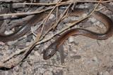 Black-striped snake, Cryptophis nigrostriatus R0014205