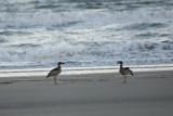 Two Beach Stone-Curlews Esacus neglectus (_DSC0066)