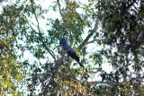 Palm cockatoo (DSC4998)