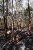 Rocks revealed by fire in Casuarina forest (DSC_0969)