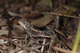Dragon, Amphibolurus nobbiIMG_0755