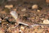 Central netted dragon ctenophorus nuchalis u002232