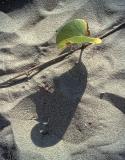 Beach vine