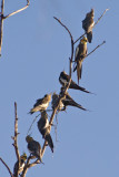 Flock of cockatiels in tree DSC2261
