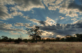Gidgee, mitchell grass, and sunburst _DSC1716_5_7