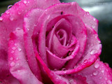 A Rose is a Rose ~