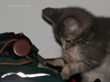 The Fascination a Steel Clip Holds for a Kitten!
